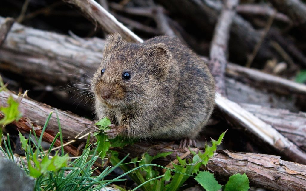 Żywienie myszy i szczura