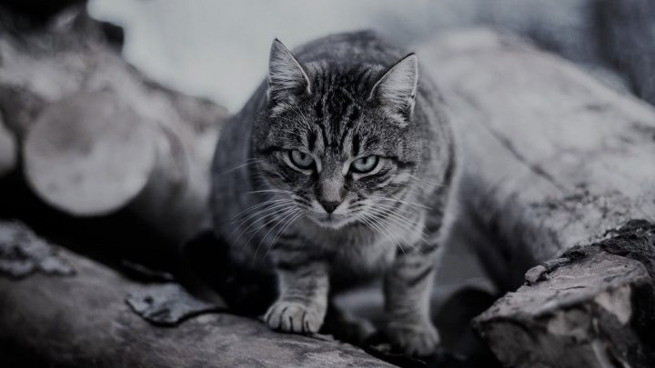 Historia kota domowego
