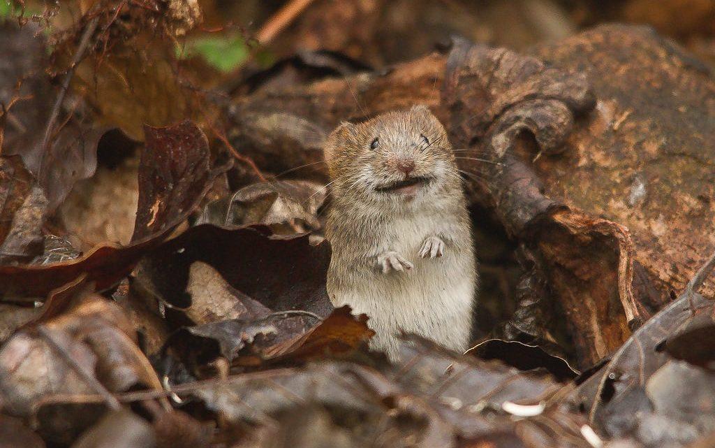 Hodowla mysz i szczurów