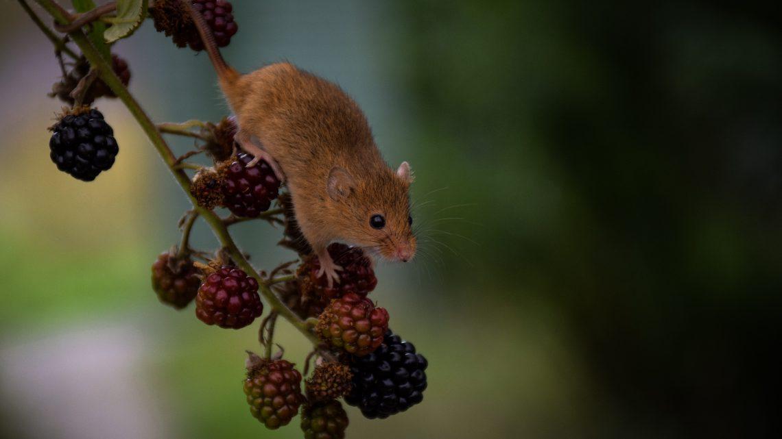 Zdrowie myszy i szczura