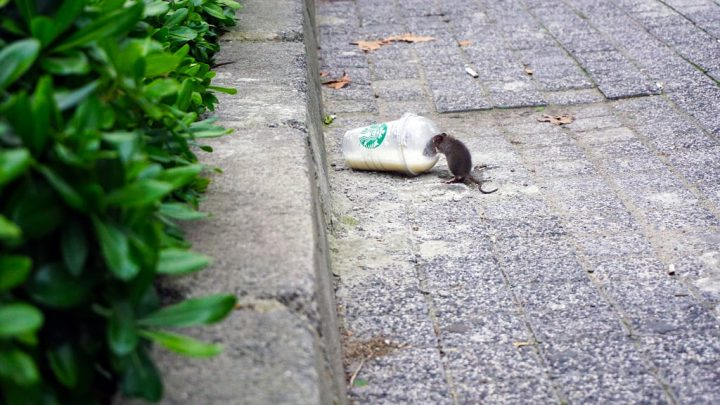 Szczur w mieście