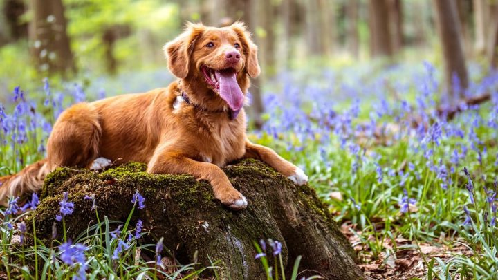 Leżący pies na kamieniu otoczony kwiatami na tle lasu.