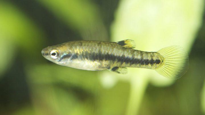 Ryby piękniczkowate