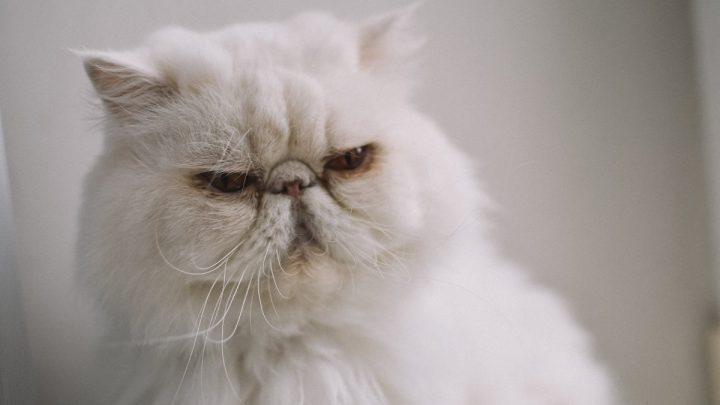 Zdrowie kota perskiego