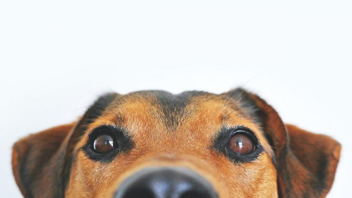 Psi wzrok