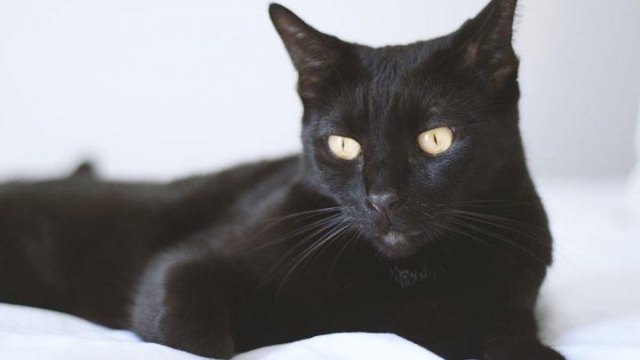 Zdrowie kota bombajskiego