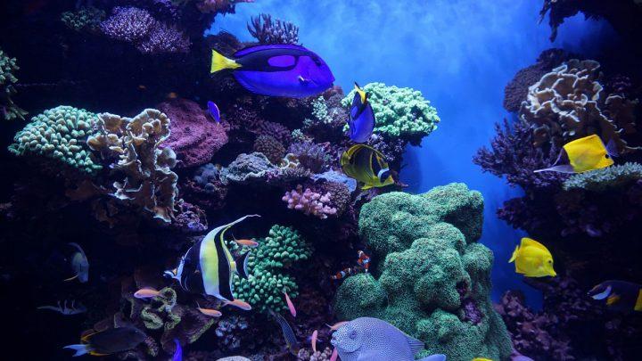 Niebieskie i żółte ryby na tle rafy koralowej.