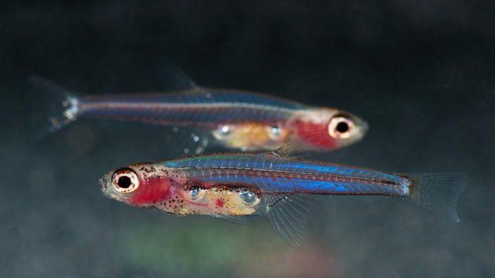 Dwie najmniejsze ryby na świecie.