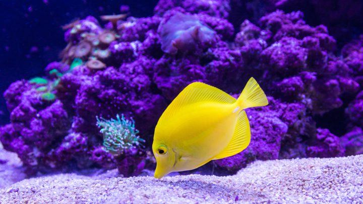 Żółta ryba w akwarium