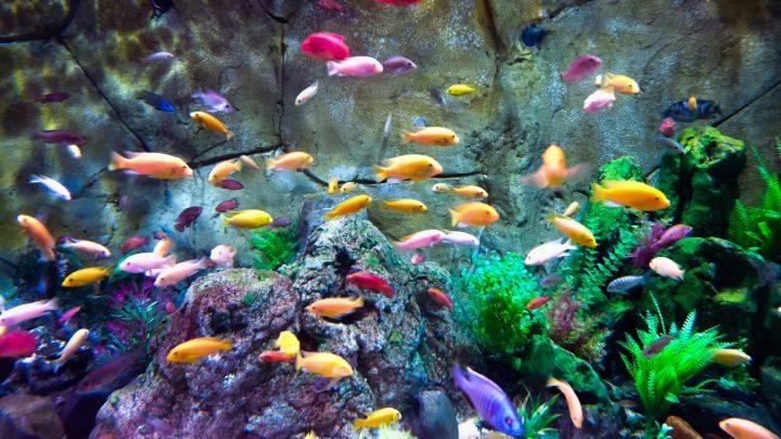 Wiele kolorowych rybek pływających w akwarium.