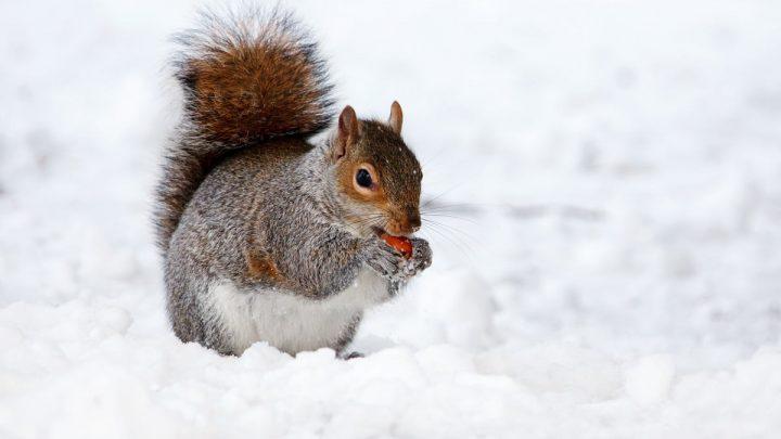 Wiewiórki zimą