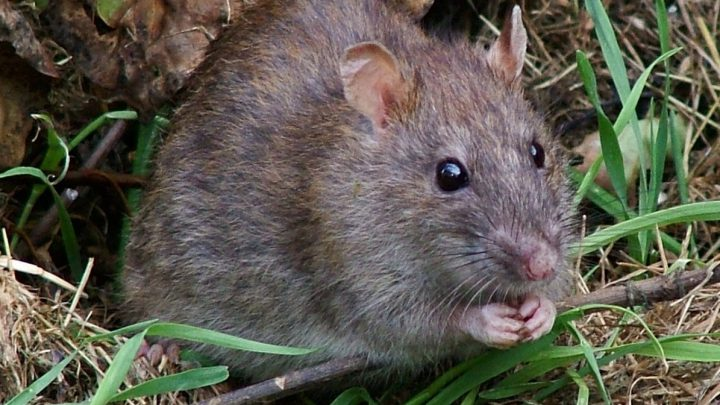 Szczur siedzący w trawie.