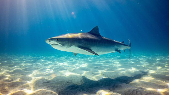 Pływający rekin w oceanie.