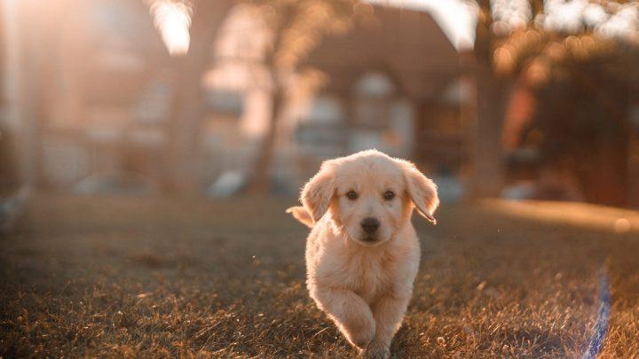 Biegnący szczeniak po trawie, którego oświetlają promienie słońca, a w oddali widać ulicę z drzewami i domem.