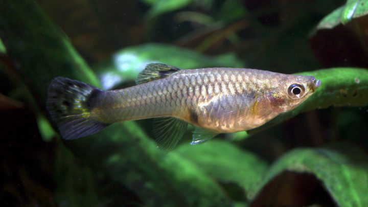 Ryba karpieńcokształtna pływająca w akwarium.