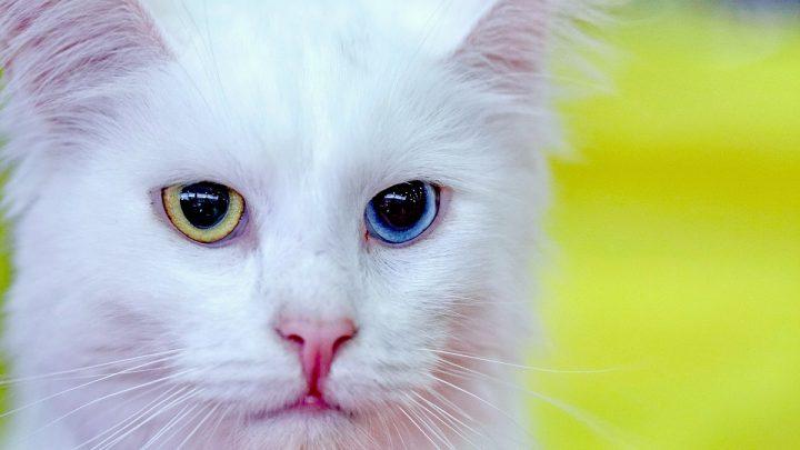 Kot turecki angora z jednym żółtym, a drugim niebieskim okiem.