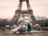 Miłość wśród gołębi we Francji