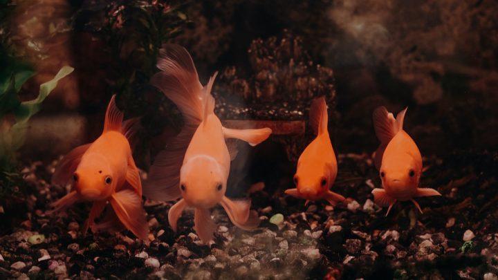Cztery złote rybki