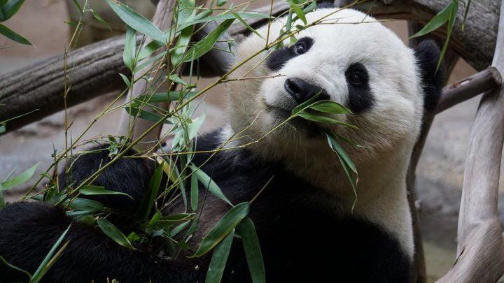 Opieka nad ssakami drapieżnymi: Panda zjadająca listki z gałązki.