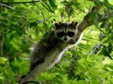 Podział ssaków drapieżnych: Szop siedzący na drzewie.