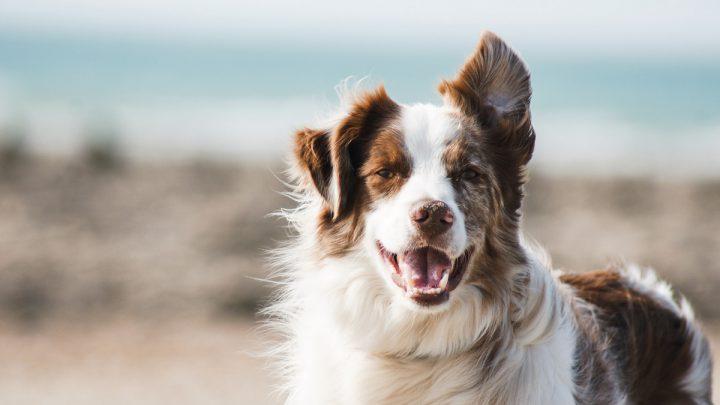 Stojący pies z jednym postawionym uchem.