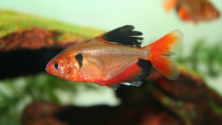 Ryby kąsaczowate