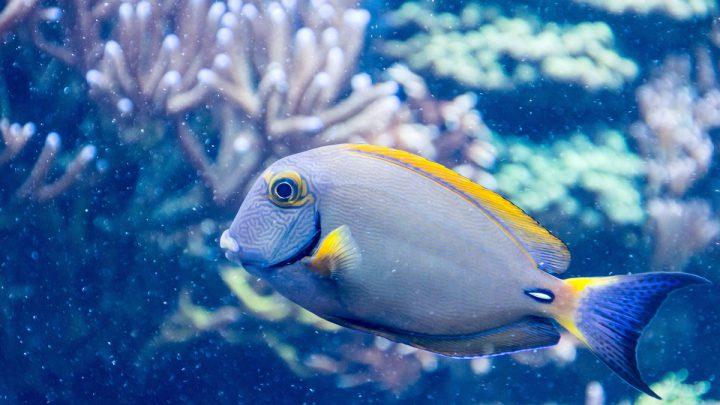 Niebieska ryba
