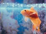 Złota rybka pływająca w akwarium