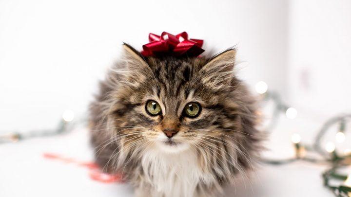 Siedzący kot z kokardką na głowie.
