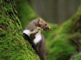 Żywienie i zdrowie ssaków drapieżnych: Kuna rozglądająca się na drzewie i oblizująca się.