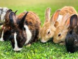 Cztery zające jedzące trawkę