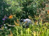 Kot birmański w trawie