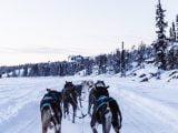 Psi zaprzęg ciągnący sanie po śniegu