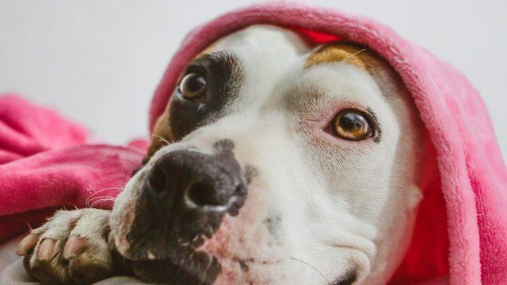amerykański Pit Bull Terrier pod kocykiem