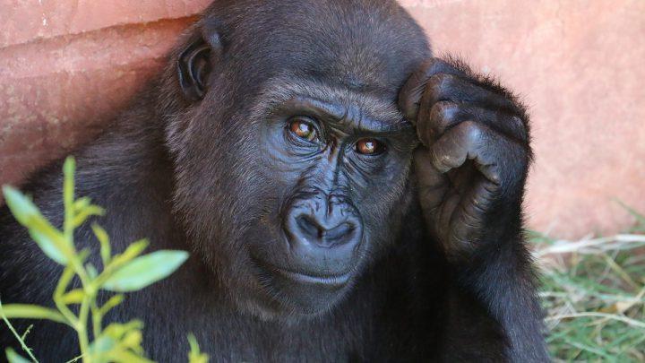 Najinteligentniejsze zwierzęta świata - Zamyślony szympans
