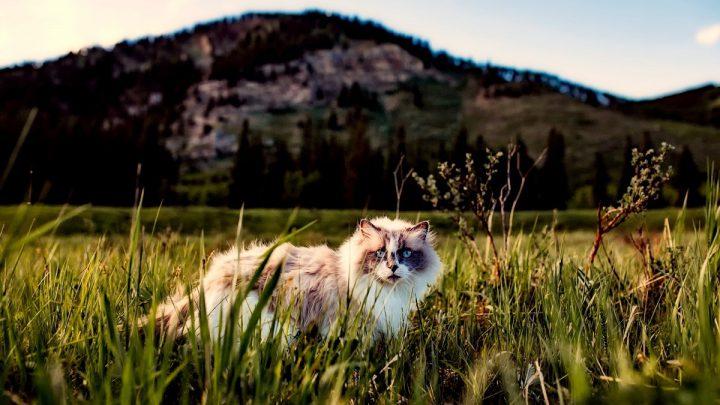 Rodowód kota - kot spacerujący po trawie.
