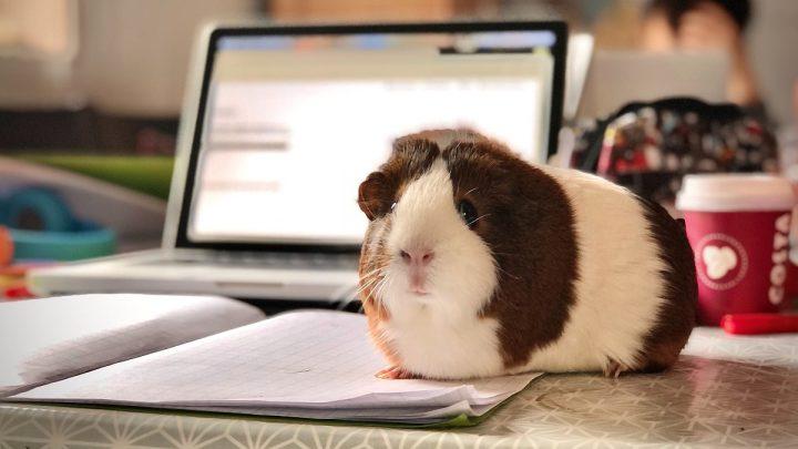 Zmysły świnki morskiej - Świnka morska siedząca obok laptopa.