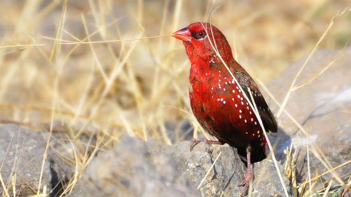 Bengalik Czerwony stojący na kamieniu