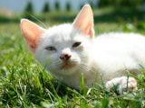 Koci słuch