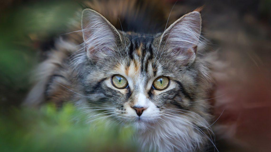 Międzynarodowa Federacja Felinologiczna FIFE