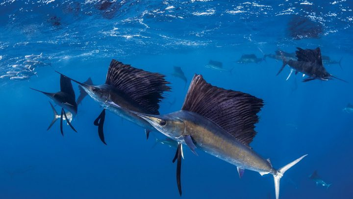 Najszybsza ryba