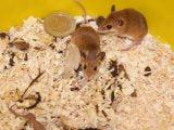 Opieka nad subsaharyjską myszą