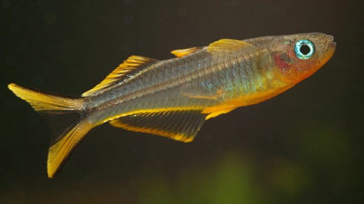 Ryby modrookowate