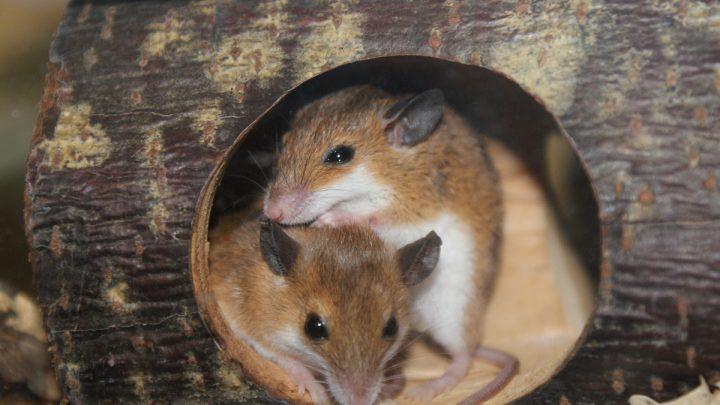 Subsaharyjska mysz