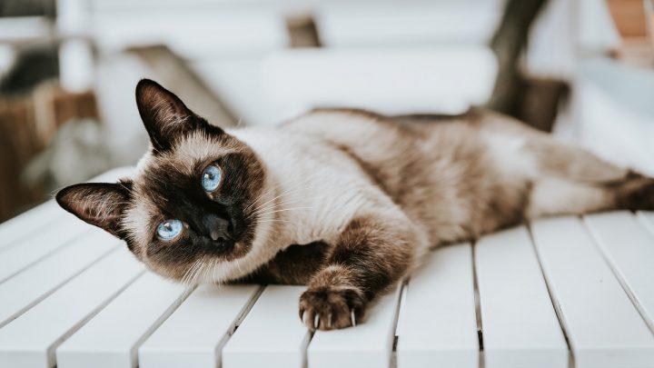 Zdrowie kota syjamskiego