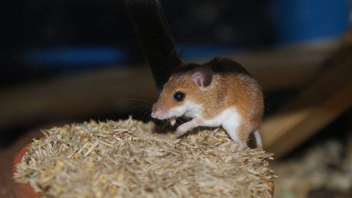 Żywienie i zdrowie subsaharyjskiej myszy