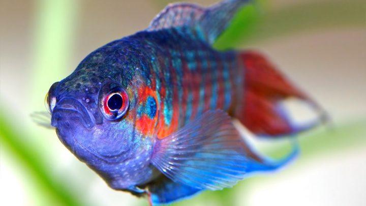 Ryby błędnikowce