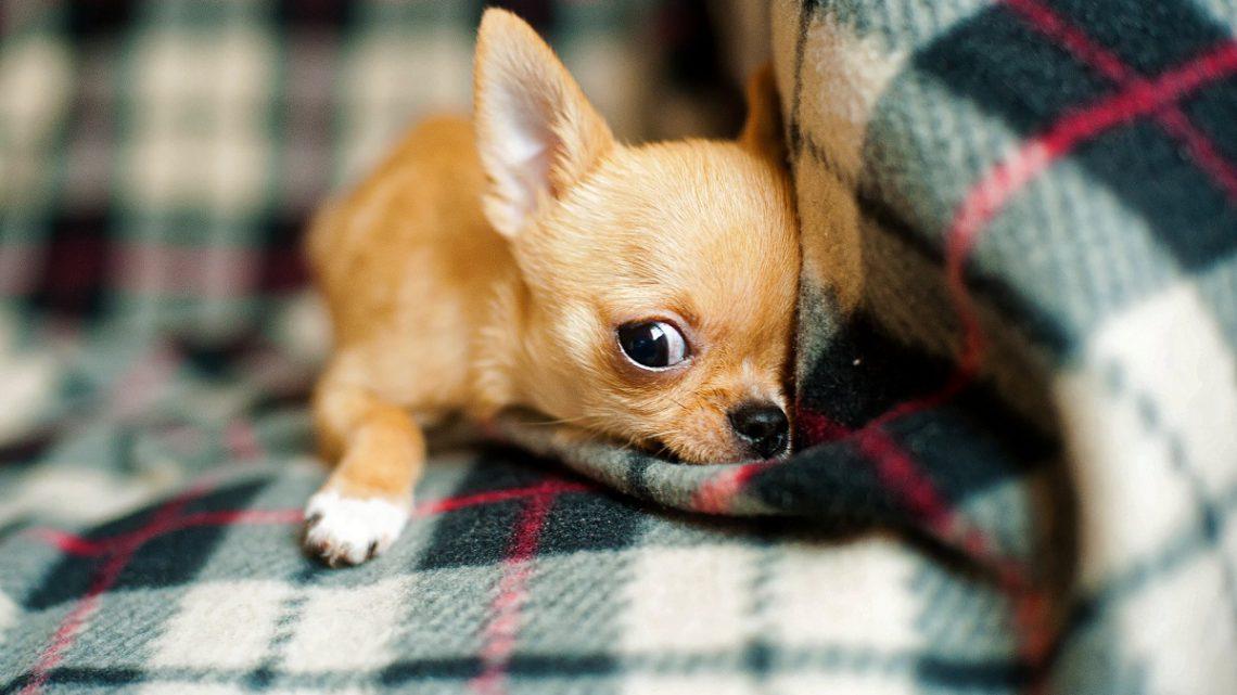 Zdrowie Chihuahua