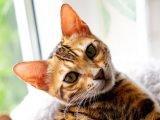 Zdrowie kota bengalskiego
