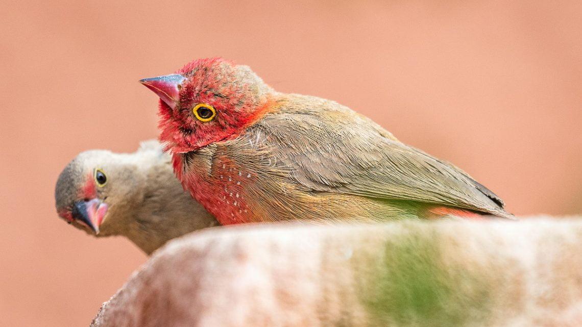 Amarantka czerwonodzioba